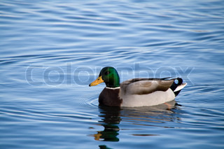Duck swimming on blue water