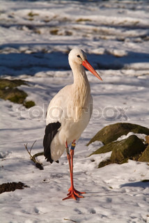 wildlife, stork, bird, animal, beak, portrait, red, white, nature, beautiful, rural, feathers, outdoor, feather, wild, closeup, face, big, close, bill, zoo, captivity, sweden, one, head, long, outside, daylight,  profile, snow, winter, cold