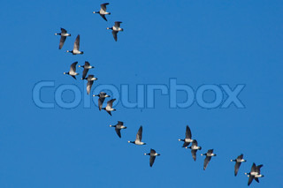 barnacle, white, bird, black, goose, wildlife, animal, nature, fauna, wing, grey, feather, geese, branta, beautiful, flight, flock, sky, seaside, large, migrate, move, north, over, outdoor, long, weather, many, flying, feathering, barnacle flight geese, w