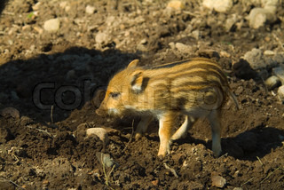 wild, mammal, pig, animal, boar, nature, piglet, small, meat, brown, fur, animals, baby boars, youth, wild boars, zoo, wild boar, young, muddy, play, dirty, baby, standing, stripes, swine, wildlife, outside, daylight, captive, cute, dear, one