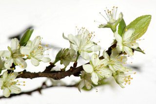 flowers of a plum tree in the spring