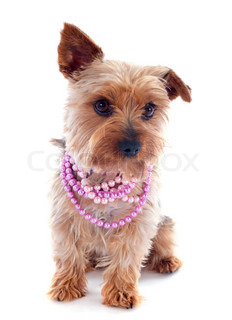 yorkshire terrier and collar