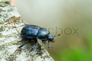 invertebrate, insect, imago, magnification, macro, scarab beetle, wildlife, smalll, nobody, nature, scarab, outdoors, close-up, close up, color, closeup, beetle, animal, close, bug, black, entomology, dungbeetle, fauna, environment, day, dung beetle, dung