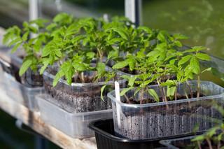 Billede af 'tomatplanter, haven, pottet planter'