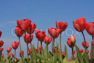 Billede af 'baggrund, blomster, rød'