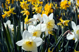 Daffodils and narcissus. Springtime flowers close-up in sunny garden.