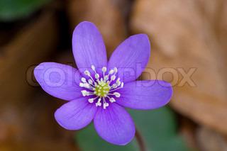 Billede af 'anemone, blomst, blå'