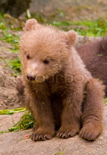 young, bear, brown, fur, outdoors, playful, nature, predator, mammal, animal, cute, wildlife, bear photo, park, posed, news, youthful, beautiful, close-up, amazing, face, fluffy, living, captivity, animals, cub, small, one, teddy