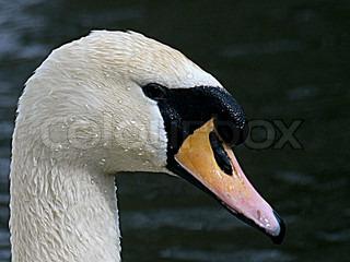 Image of 'birds, swan, bird'