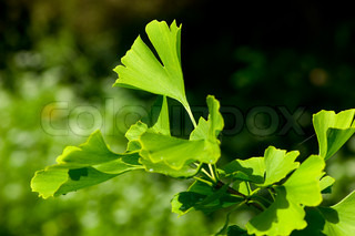 biloba, gingko, ginkgo, tree, ginko, herbal, leaf, china, plant, foliage, green, close-up, detail, japan, herb, healthcare, ginkobiloba, healthy, bright, branch, chinese, drug, culture, color, colored, texture, vibrant, ginkgo biloba leaf, nature, outdoor