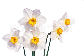 Daffodil lillies, variety with white petals.