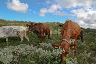 Image of 'cow, norway, norwegian'