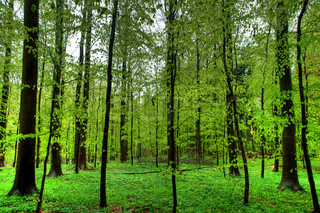 Beech wood in spring, Denmark