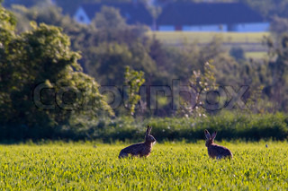 countryside, hare, wild, rural, animal, nibbling, outside, outdoors, lepus, food, nature, natural, mammal, two, wildlife, rodent, sitting, europe, hunter, bunny, animals, grass, course, eating, day, backlit, backlight, denmark, field,  green, farm, farmla