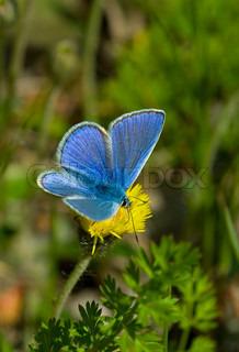 Schmetterling, blau, Sommer, Insekt, Natur, schöne, Wildtiere, offen, Nachtfalter, winged, Makro, Flügel, Frühling, ziemlich, bug, Closeup, Hintergrund, Tier, Schönheit, fliegen, Flug, Design, Kreatur, niedlich, Ruhe, Garten, Blume, bunt, Dänemark, Tagesli