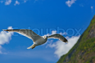 Seagull bird in Norway fjord