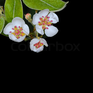 apple blossom on black with copy space