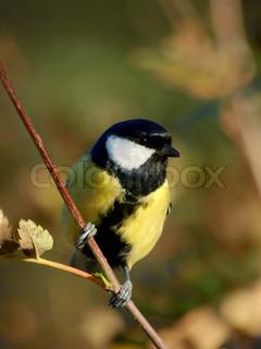 Image of 'tit, great, bird'