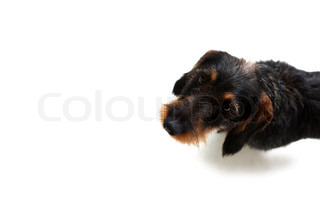 A cute dachshund puppy on the floor