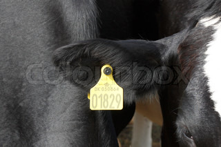 Cow livestock with ear tags