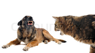 angry malinois and cat