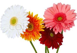 Billede af 'blomst, pollen, gerbera'