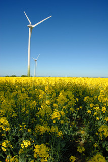 Rape field with a wind turbine