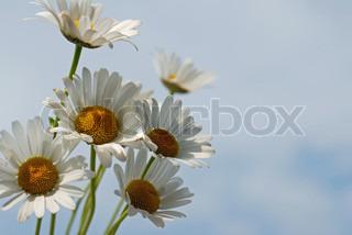 Billede af 'miljø, daisy, Blomst'