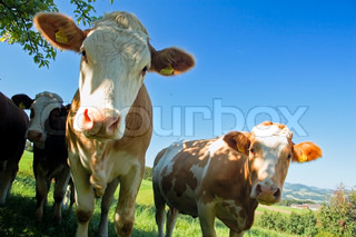 Image of 'cow, farm, livestock'