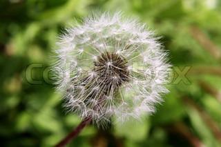Billede af 'mælkebøtte, pollen, plante'