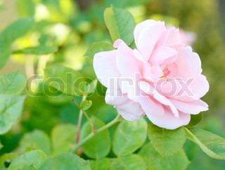 En lyserød rose i en blomstrende have