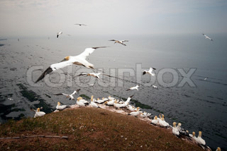 Gannets all over high up on Helgoland mountain