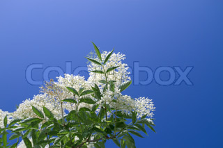 Elderflower isolated on a blue sky