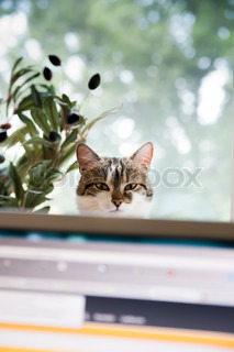 Cat behind a Monitor, look at the Person who is working on Computer