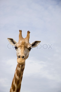 Close up of giraffe, only head and neck, set against blue sky, looking at the camera