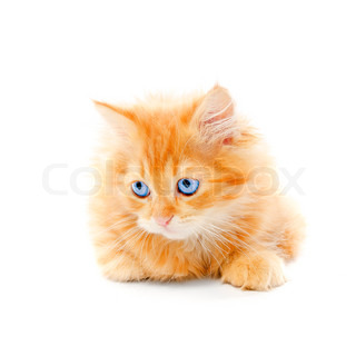 Ginger kitten isolated