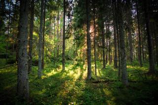 Billede af 'skov, belyse, frodige'