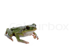 one tree frog and a white background