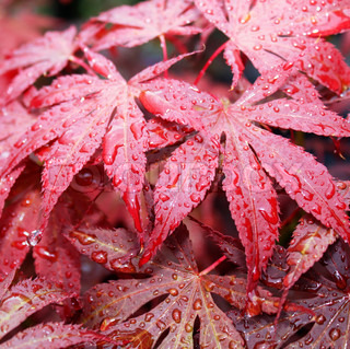 red leaves with raindrops