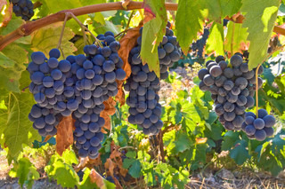 Mellow blue grapes
