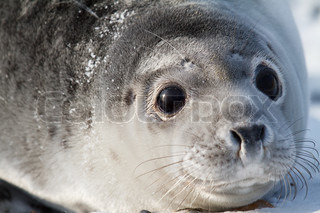Baby Seal in the whinter