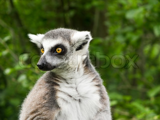 Ring tailed lemur with big yellow eyes