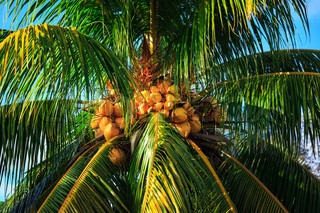coconut tree with nuts