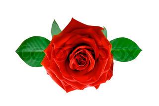 En rød rose