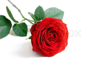 Billede af 'rose, blomst, kærlighed'