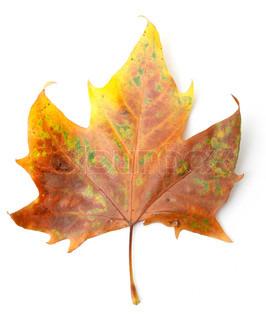 Billede af 'efterår, ahorn, op'