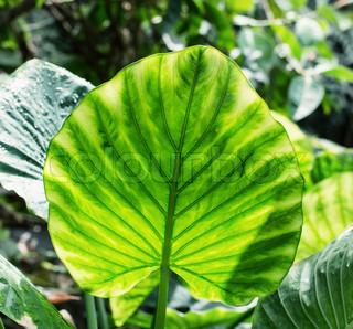 Big brightly green leaf