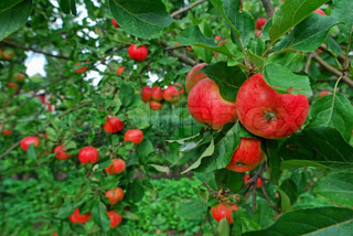 Billede af 'æbletræ, høstet, naturlig'