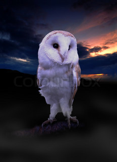 One of the cutest Barn Owls we have