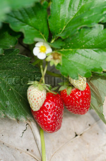 Strawberry fruits growing on vine